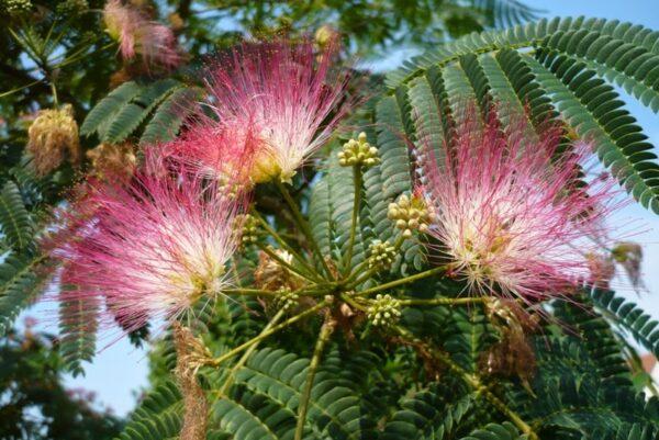 Arborele de Matase