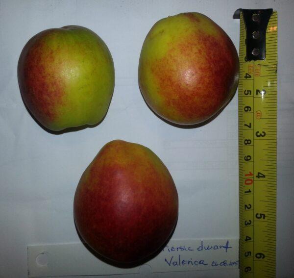 Piersic dwarf Vasilica 60-70 cm (ornamental) la ghiveci